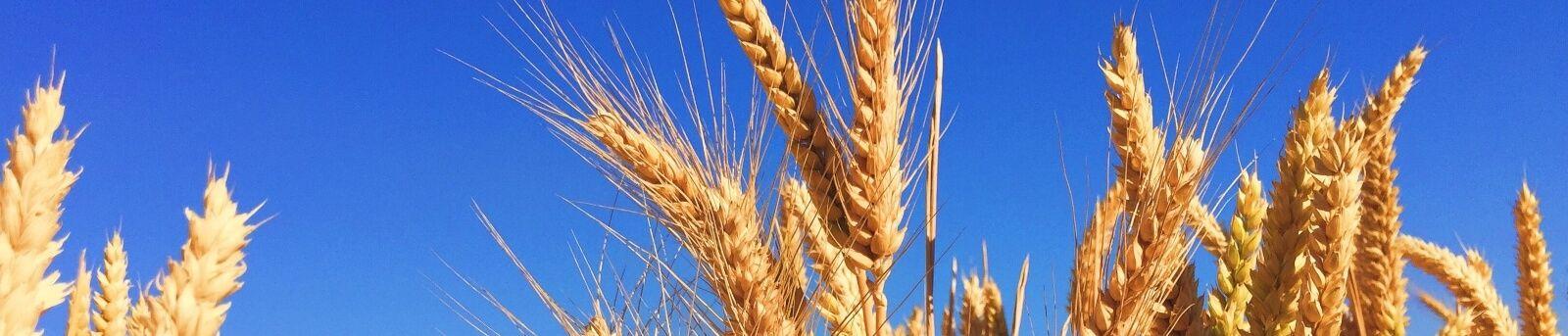 Weizenfeld vor blauem Himmel